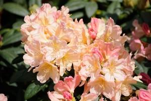 Azalie i różaneczniki w pełni kwitnienia.     ZAPRASZAMY